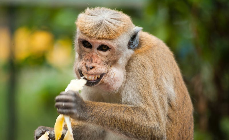 Las frutas actuales son tan dulces que los zoológicos están retirándolas de la dieta de algunos animales