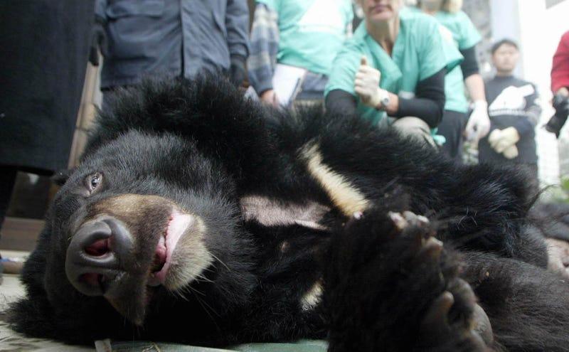 Un oso en una granja de bilis. AP