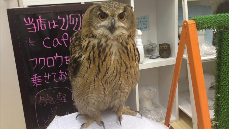 Illustration for article titled Who Thinks Japan's Owl Cafes Are a Hoot?
