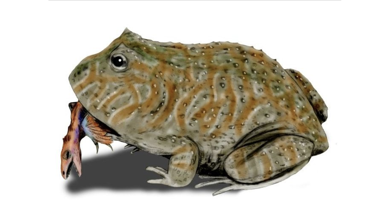 Study claims Beelzebufo frogs biting force can kill dinosaur