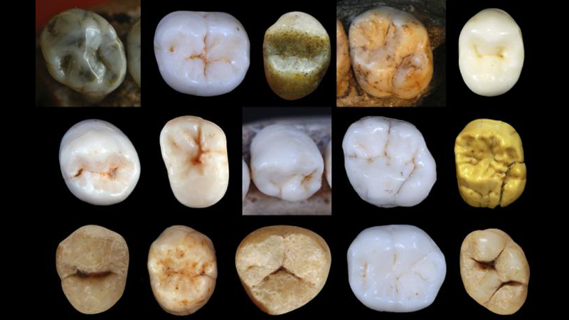 A sample of some hominine teeth is analyzed in the new study.