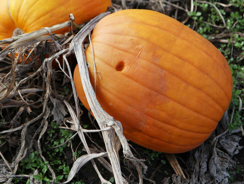 Illustration for article titled Pumpkin Clearly Had Finger In It