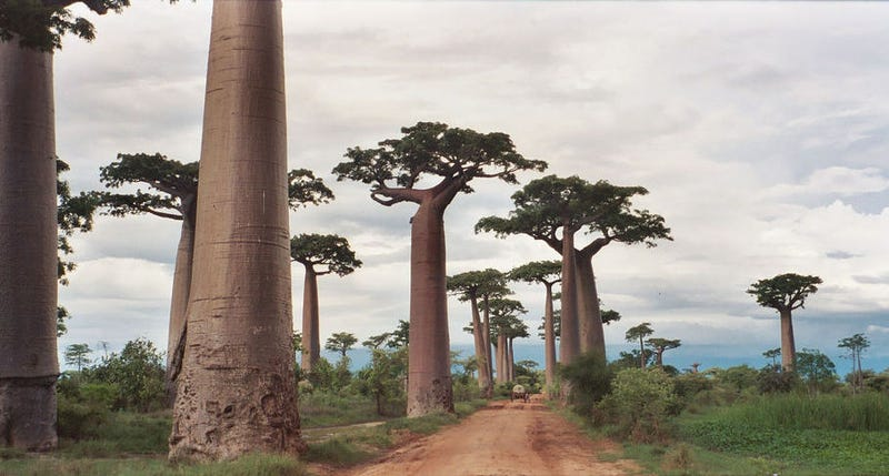 Illustration for article titled As They Grow, Baobab Trees Hollow Themselves Out From The Inside