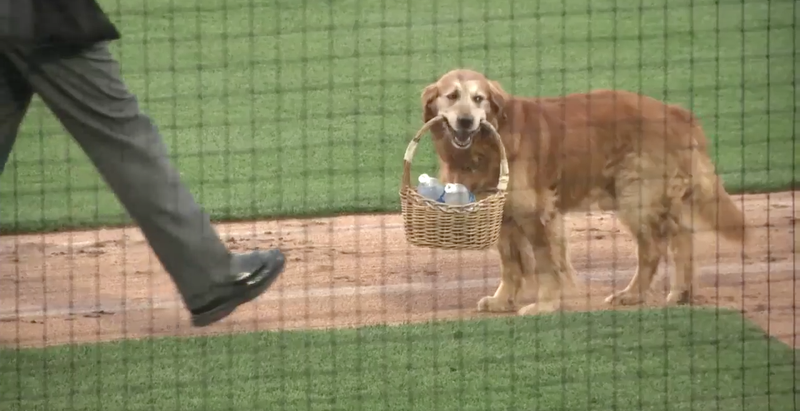 Dog Delivers Water to Baseball Players