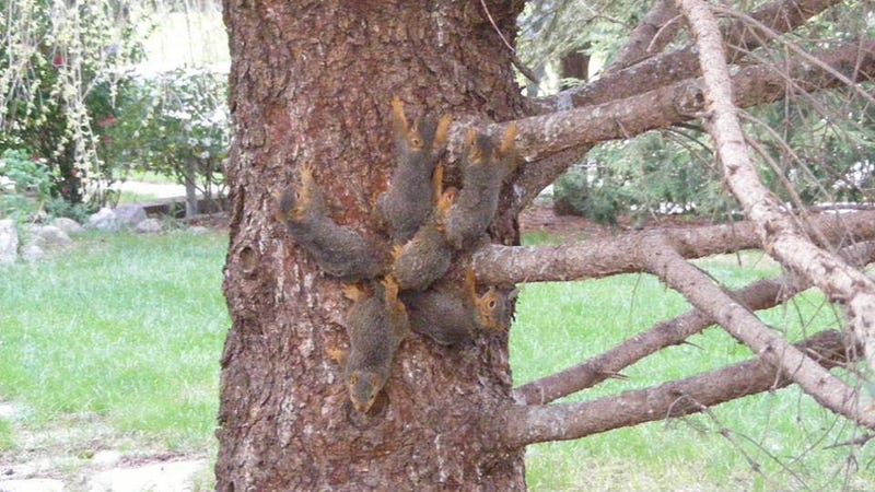 Six baby squirrels with their tails tangled up, in Elkhorn, Nebraska.