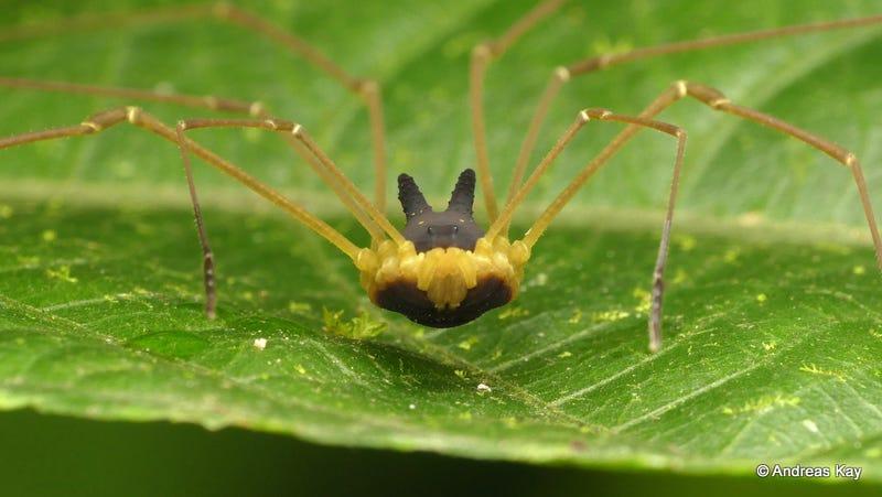 Illustration for article titled Esta adorable araña con lo que parece un sombrero de conejito es real, solo que no es una araña
