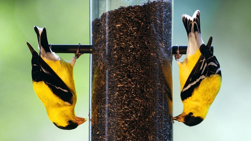 American goldfinches chilling at a bird feeder. Photo credit: Ron Edmonds/AP