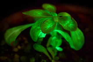 Illustration for article titled This plant has been genetically engineered to provide mood lighting