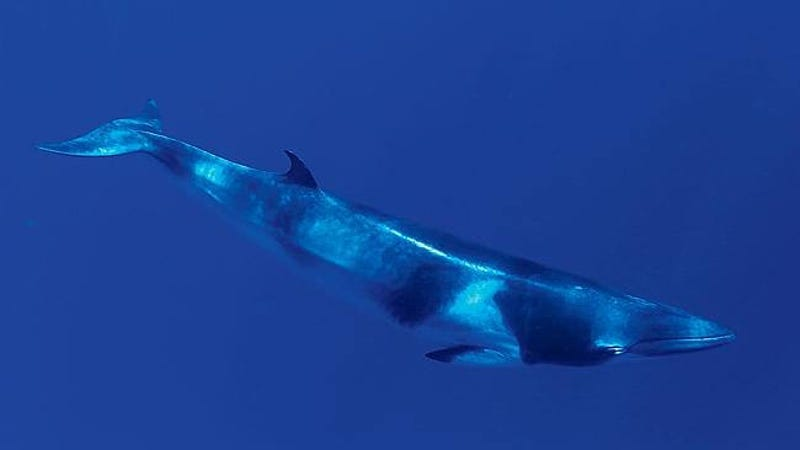Dwarf minke whales have been identified as a possible source of the strange sounds. (Image: Oregon State University)