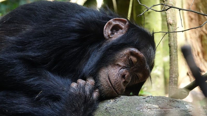 Compared to human beds, the places where chimps sleep are quite clean.