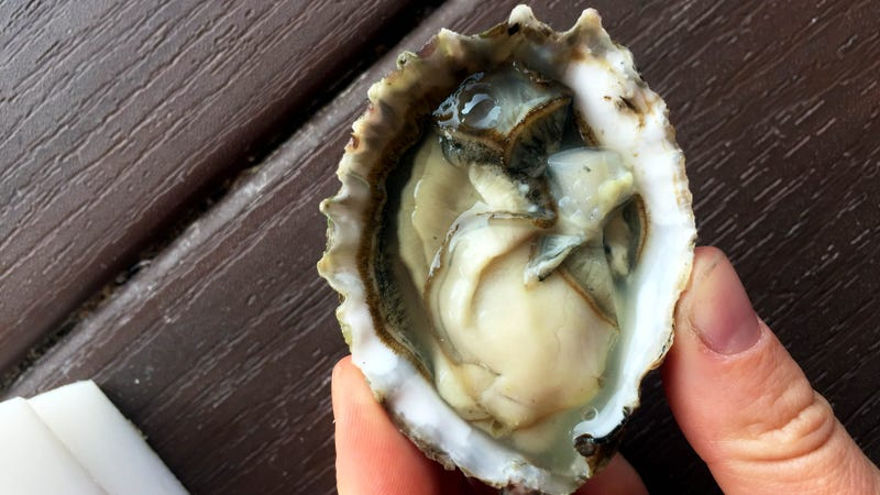 Illustration for article titled Awww shucks: There are no finer oysters on the West Coast than at Taylor Shellfish Farms