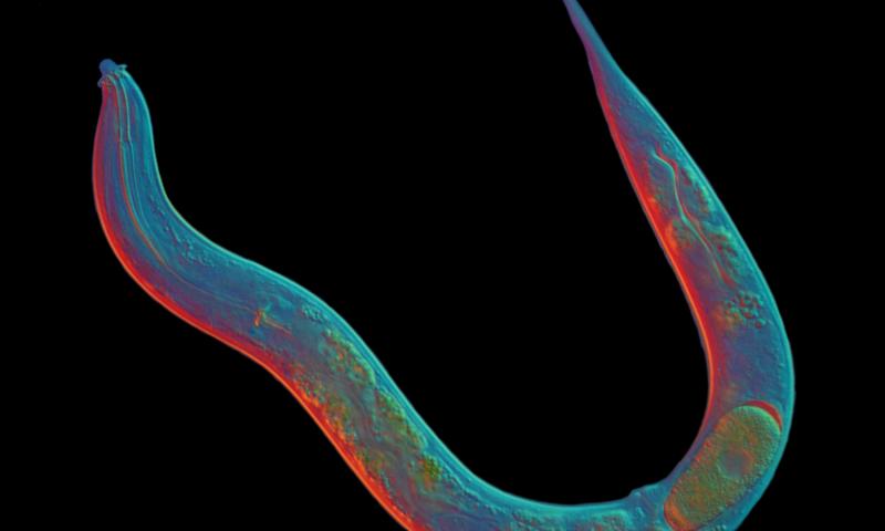 Este gusano ha sobrevivido 18 millones de años sin sexo, y ahora sabemos su secreto