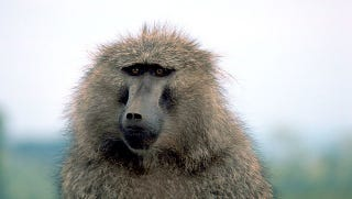 Illustration for article titled This Study of Baboons Makes Me Want to Murder People (In a Good Way)
