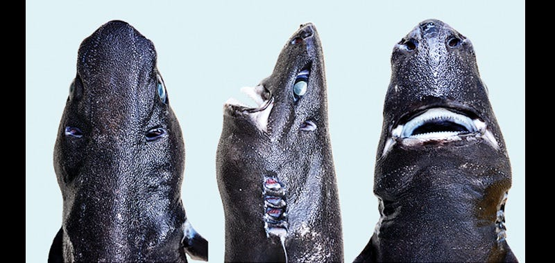 "Scientists Officially Pronounce the ""Ninja Lanternshark"" a New Species"