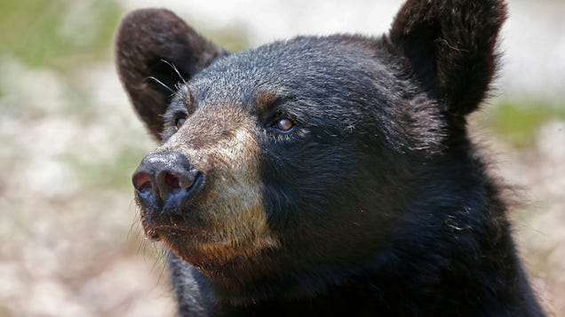 A Mystery Brain Condition Is Making Bears Friendly, Then Killing Them