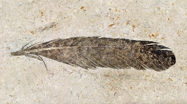 The First Dinosaur Feather Ever Found Is Still Controversial