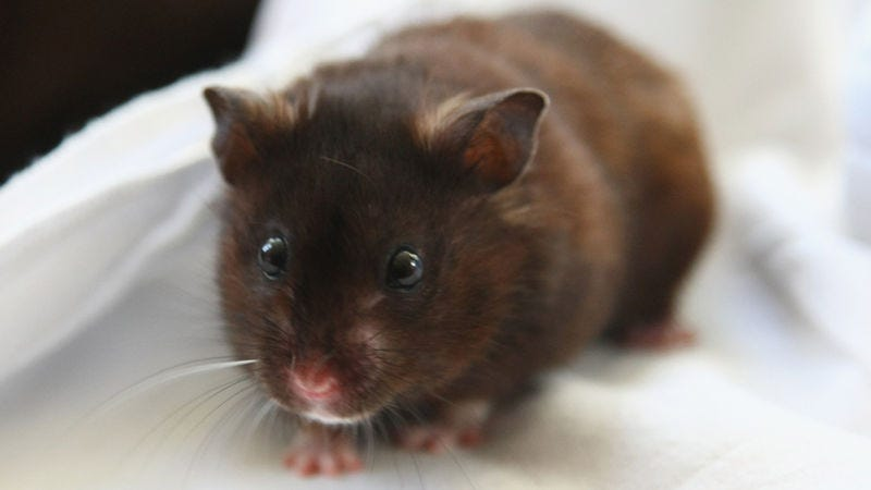 Not an image of the actual hamster. Image: Getty