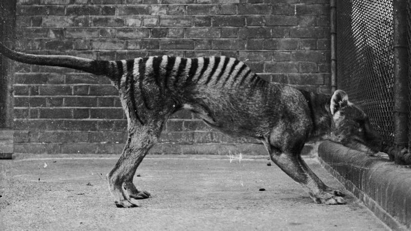 Illustration for article titled Why Tasmanian Tiger Trackers Refuse to Bow to Extinction