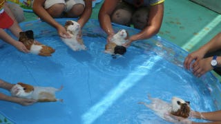 Illustration for article titled Guinea Pigs Playing In A Kiddie Pool