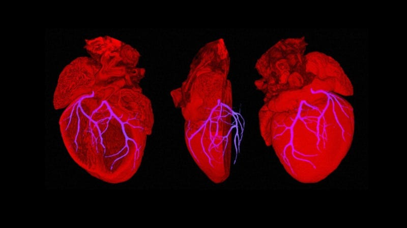 Illustration for article titled Breakthrough: Scientists build a beating mouse heart with human tissue
