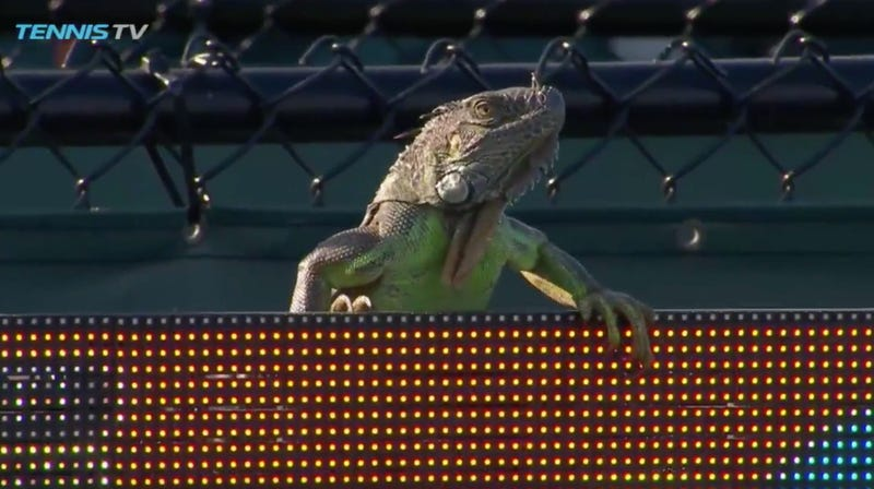 Illustration for article titled Extra-Cool Iguana Is Now The King Of This Tennis Court