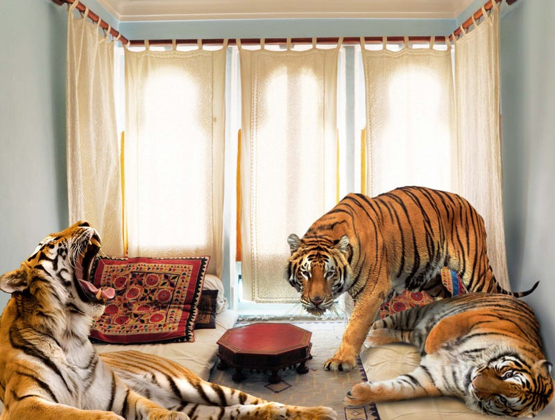 Illustration for article titled Bengal Tigers' Habitat Down To Studio Apartment In Jaipur, India