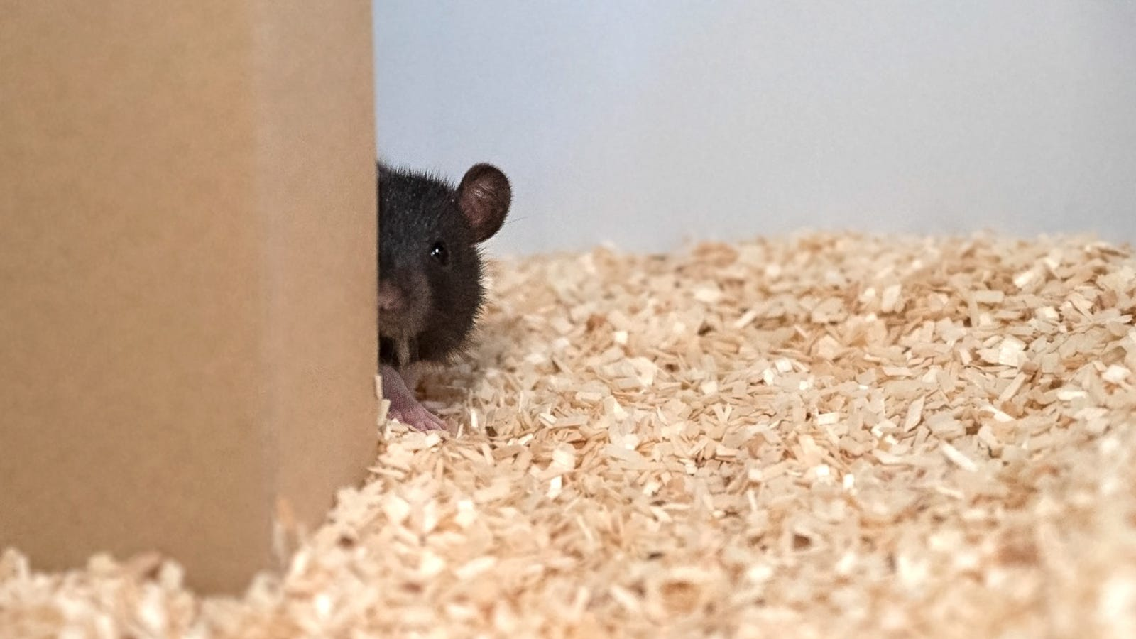 Scientists Taught Rats to Play Hide-and-Seek, and They're
