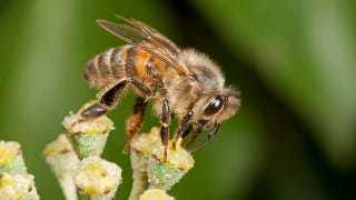 Illustration for article titled Giving an old bee a youngster's job causes brain rejuvenation