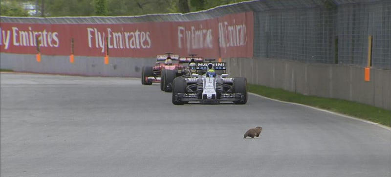 Illustration for article titled Groundhog Narrowly Avoids Gruesome Death At Canadian Grand Prix