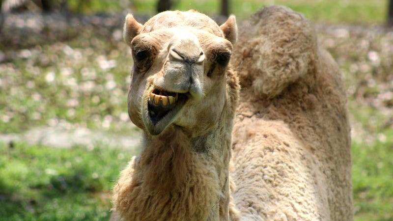 Police Say Woman Bit Camel's Balls: 'The Camel Did Nothing Wrong'