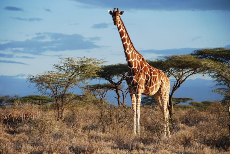 Reticulated giraffe is in Samburu NP, Kenya. Image: Julian Fennessy