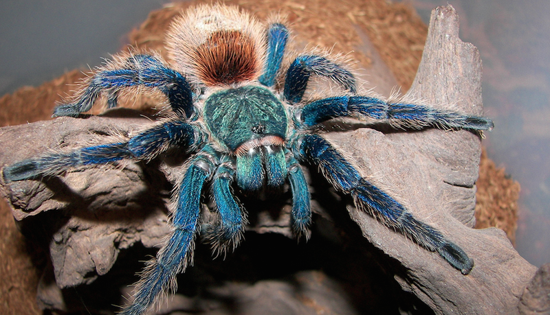 We Still Don't Know Why the Heck There Are So Many Blue Tarantulas