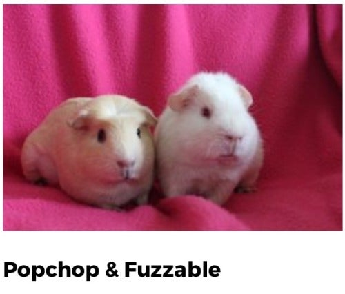 This is What Happens When You Teach an AI to Name Guinea Pigs