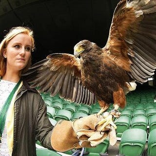 Illustration for article titled Wimbledon Hired A Hawk To Scare The Pigeons Away