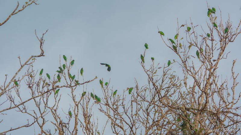 Puerto Rican parrots spotted on a defoliated canopy in the Rio Abajo state forest last week. Photo Courtesy Tanya Martinez