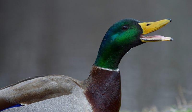 Illustration for article titled Shot Some Ducks