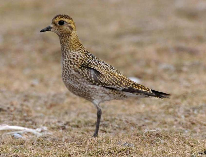 Illustration for article titled Ladies and gentlemen, the Golden Plover.