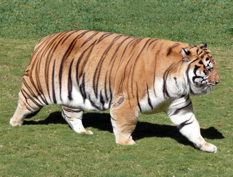 lsu tiger reports to training camp completely overweight