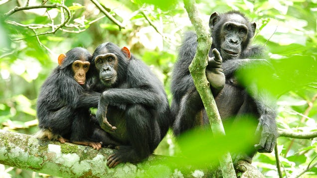 An Edible Vaccine For Wild Apes Could Revolutionize the Way We Fight Ebola