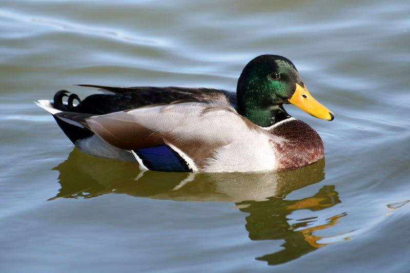 Illustration for article titled 'Maybe Hang Out In The Water Awhile, Then Look For Some Old Bread,' Duck Tells Self