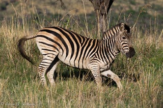 Illustration for article titled Photo Safari: Zebras