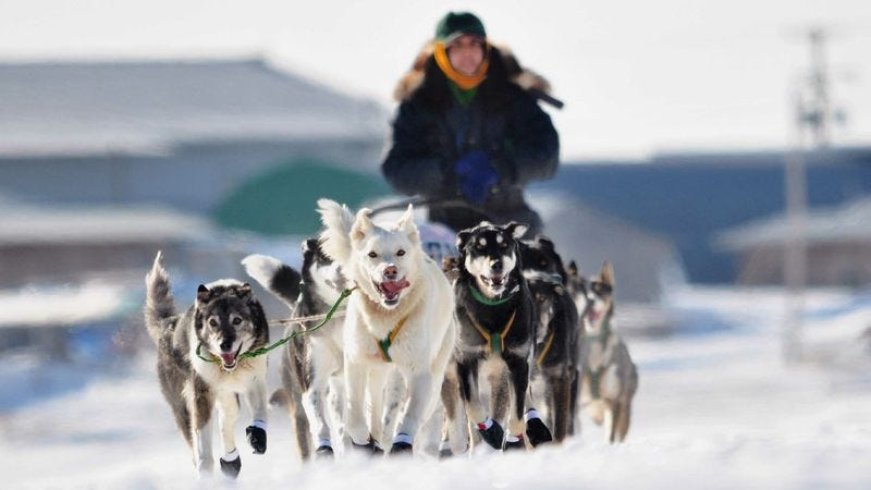 Illustration for article titled Iditarod Musher Limiting Self To Eating Just One Husky Per Day