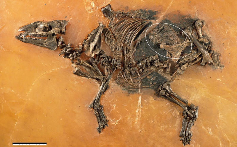 Illustration for article titled Incredible Fossil of an Ancient Horse Still Contains Its Unborn Foal