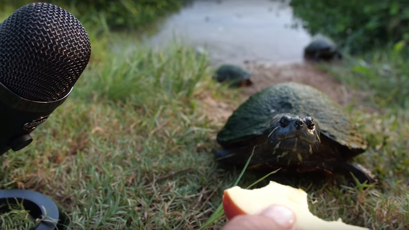 Hungry turtle ASMR is ASMR we can get behind