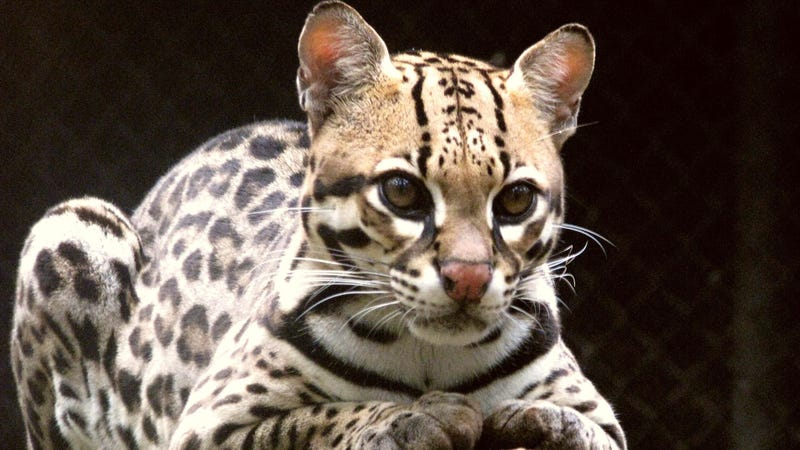An ocelot, one of the animals that could suffer from border wall construction.