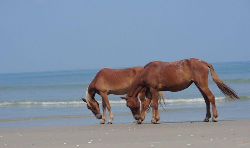 Estos caballos salvajes tienen un truco para sobrevivir a los huracanes sin ayuda del ser humano
