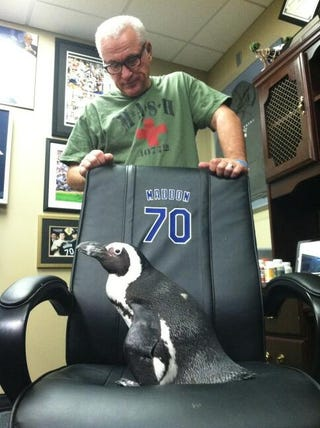 Illustration for article titled Here's A Penguin Sitting In Rays Manager Joe Maddon's Chair