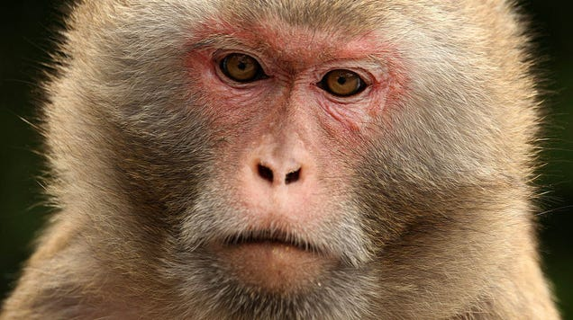 Researchers Control Monkeys  Decisions With Bursts of Ultrasonic Waves