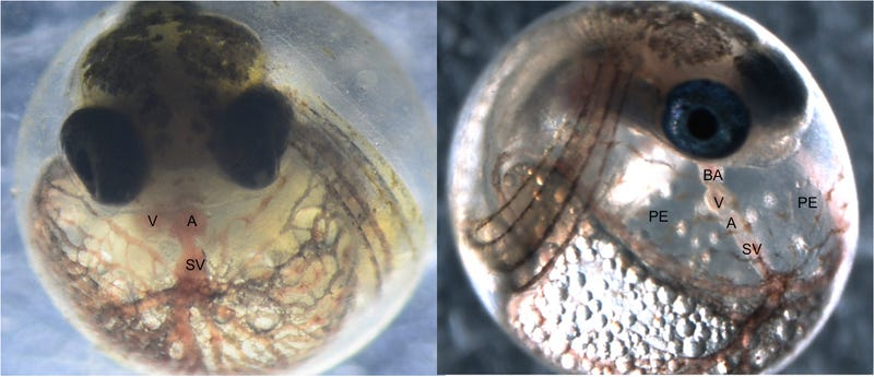 At left, a normally developed Atlantic killifish embryo, and at right, an embryo affected by a group of chemicals called PCBs. The fish on the right has a deformed heart. while killifish that have evolved tolerance to chemicals show limited signs of defects. (Image: Bryan Clark/U.S. EPA)