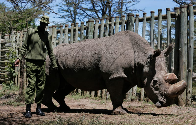 "In this photo taken Wednesday, May 3, 2017, a ranger takes care of Sudan, the world's last male northern white rhino, at the Ol Pejeta Conservancy in Laikipia county in Kenya. The health of 45-year old Sudan is reported to be deteriorating and his minders said Thursday, March 1, 2018 that his ""future is not looking bright."""